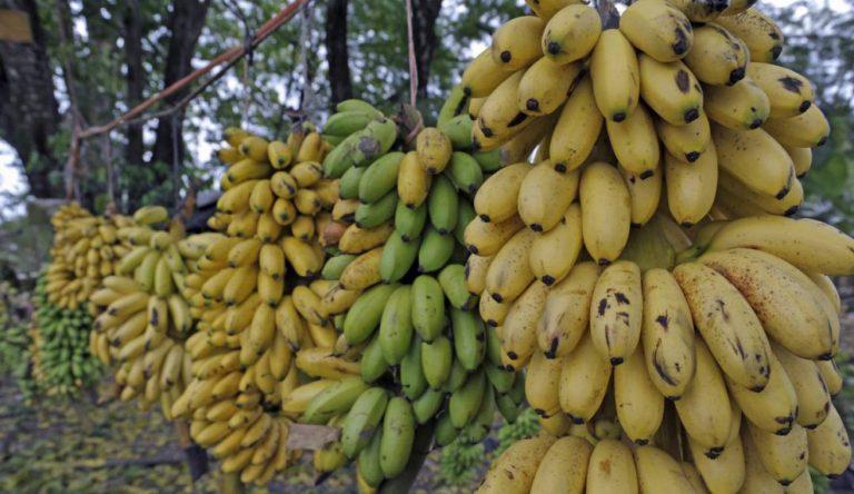 Sustitución de banano y plátano mitigaría la expansión del hongo Fusarium. #UAenmedios